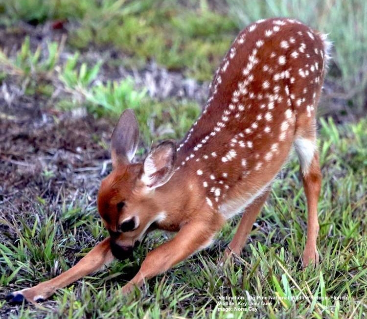 ONE OF THE SPRINGS NEW KEY DEER FAUNS BORN IN BIG PINE KEY, FLORIDA. HOW DID IT FAIR IN THE STORM? HOPEFULLY ITS MOTHER'S EXPERIENCE & INSTINCTS WERE ENOUGH TO KEEP IT SAFE. BUT CAN THEY SURVIVE THE ALTERED HABITAT? IMAGE BY NONI CAY, THANKS TO FLORIDA KEYS NATIONAL WILDLIFE REFUGE.