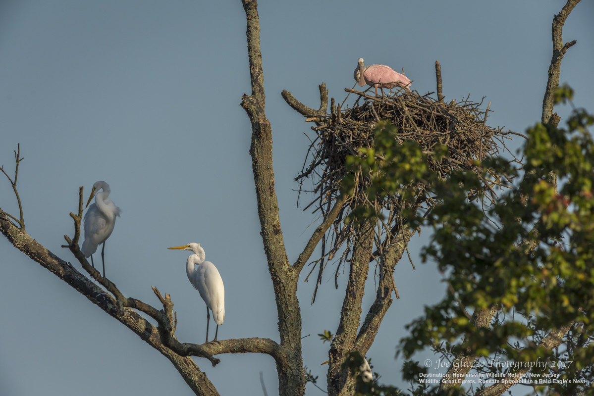 ALREADY FAMOUS AMONG BIRDWATCHERS, HEISLERVILLE WILDLIFE MANAGEMENT AREA BECAME MORE RENOWNED WHEN THIS BRAVE (OR CRAZY!) LOST ROSEATE SPOONBILL TOOK UP RESIDENCE IN A BALD EAGLE'S NEST. THE GREAT EGRETS ARE NONPLUSSED. PHOTO: ©JOE GLIOZZO, WILDLIFE PHOTOGRAPHER
