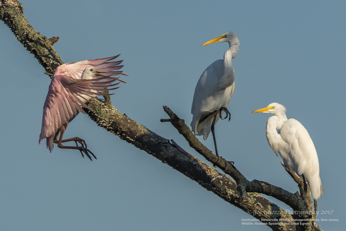 TWO GREAT EGRETS IN CAPE MAY, NEW JERSEY GREET THE ARRIVAL OF A ROSEATE SPOONBILL THOUSANDS OF MILES FROM HOME. IMAGE: THANKS TO JOE GLIOZZO, WILDLIFE PHOTOGRAPHER.