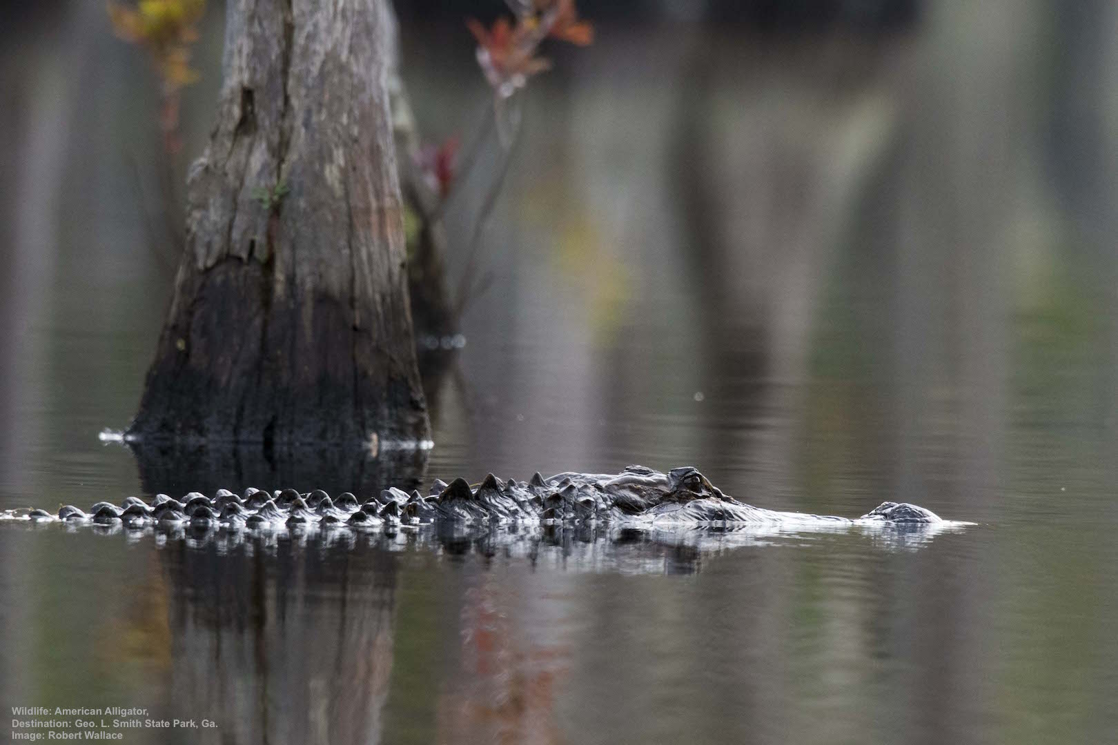 THIS BIG BOY (AMERICAN ALLIGATOR0 AND I KEPT PACE WITH EACH OTHER THROUGH THE CYPRESS HIGHWAY. IMAGE: ROBERT WALLCE