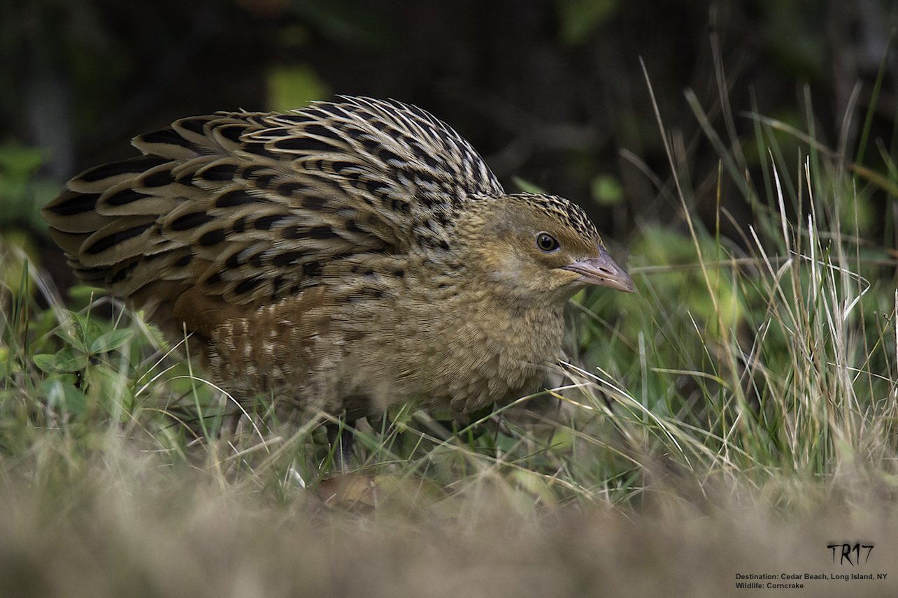 ON WINTER MIGRATION TO AFRICA, THIS BEAUTIFUL LITTLE CORNCRAKE TOOK A WRONG TURN AND LANDED ON LONG ISLAND. IMAGE: TOM REICHERT