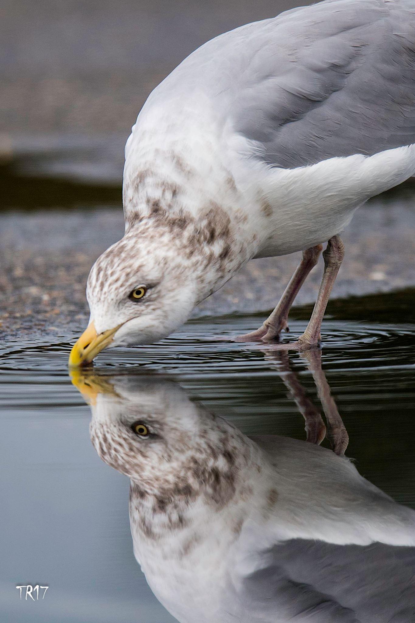 HERRING GULL IS ANOTHER OF LONG ISLAND'S RESIDENT AVIAN SPECIES. IMAGE: TOM REICHERT