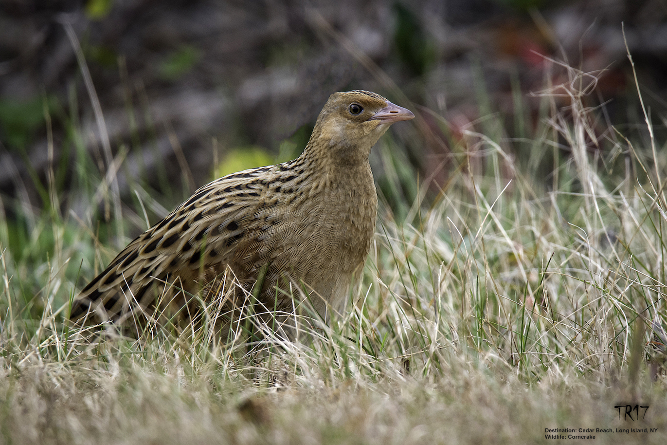 THE CORNCRAKE MADE GOOD USE OF ITS TIME AT CEDAR BEACH FILLING UP ON SEEDS AND EARTH WORMS IN THE TALL GRASS ON OCEAN PARKWAY'S SHOULDER, UNFORTUNATELY HE WAS STRUCK BY A CAR AT NIGHT AND KILLED. REST IN PEACE LITTLE TRAVELER. IMAGE: TOM REICHERT.