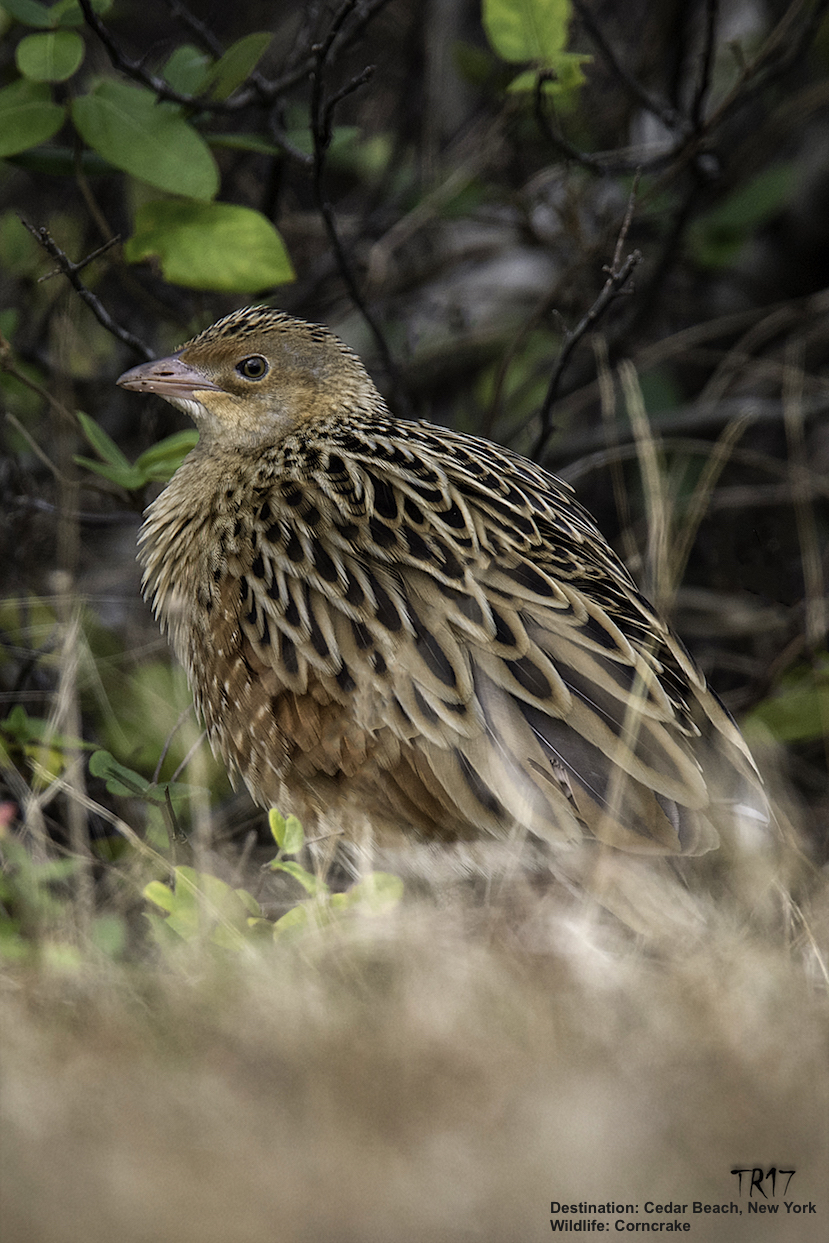 NEVER IN A MILLION YEARS DID THE ANYONE THINK THEY'D SEE A WILD CORNCRAKE IN THE US. IMAGE: TOM REICHERT