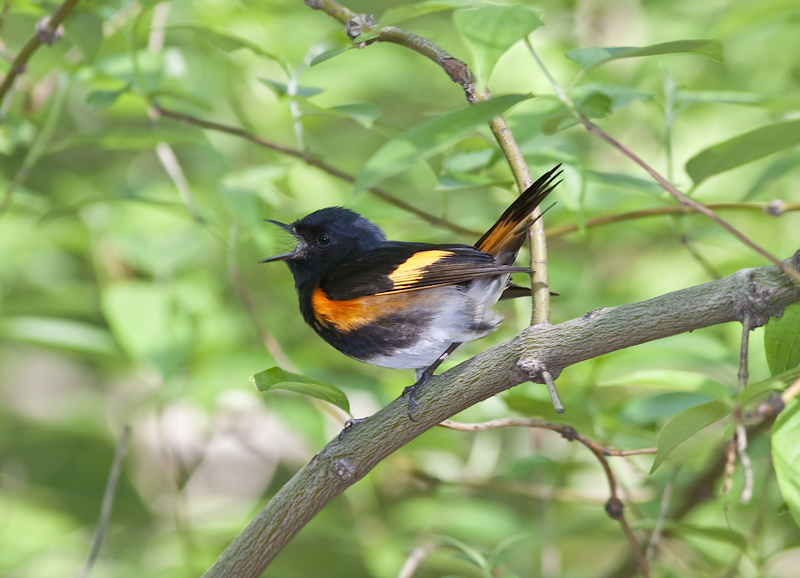 TINY WARBLERS MIGRATE THOUSANDS OF MILES EACH SPRING AND FALL, WE FOLLOWED THEM UP NEW YORK'S HUDSON RIVER VALLEY. IMAGE: JOHN ANDERSON