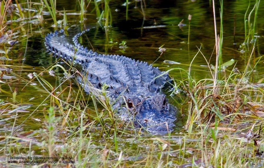 KAYAKING WITH ALLIGATORS IN THE WESTERN EVERGLADES WAS A BLAST, WE GO BACK IN 2018 TO SEE HOW THEY ARE RECOVERING AFTER IRMA. IMAGE: R. KRAVETTE