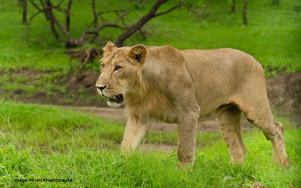 THE STORY OF THE THE LAST WILD ASIATIC LIONS ON EARTH, THE LIONS OF GIR, INDIA, CAME TO US THROUGH ONE OF OUR READERS, HIREN KHAMBHAYTA, HE ALSO TOOK THE AMAZING IMAGES.