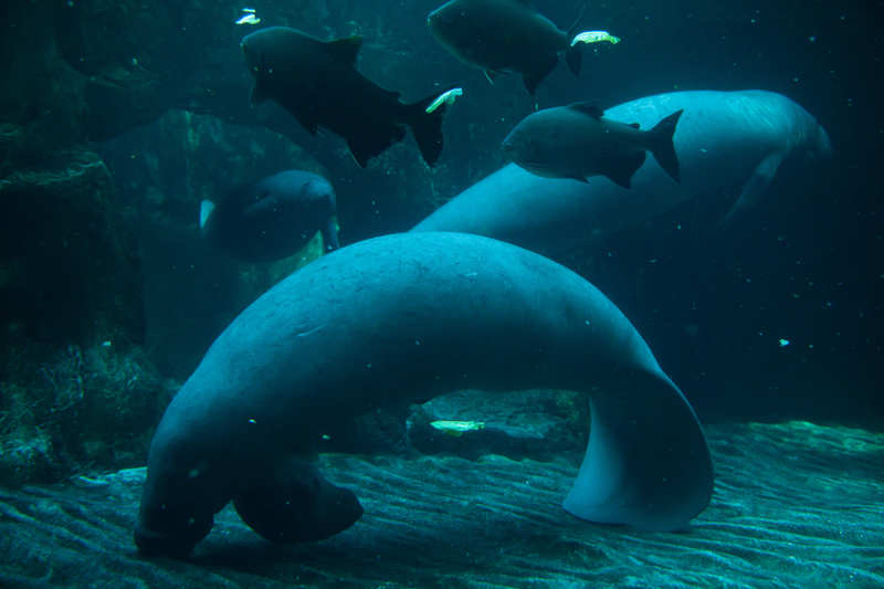 THESE ARE ANTILLES MANATEES A SUB-SPECIEs OF THE WEST INDIAN MANATEE, IMAGE: ©WRANGLE I DREAMSTIME.COM