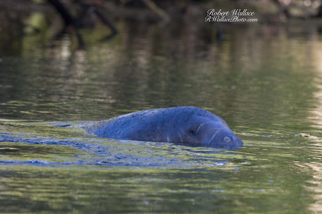 THE WINTER MONTHS ARE THE PERFECT TIME TO SEE MANATEES. THEY GATHER IN THE WARM SPRINGS ON FLORIDA'S NATURE COAST. TAKE A KAYAK OR A CANOE OUT ON THE THE CHASSAHOWTIZKA RIVER & CRYSTAL RIVER FOR A WONDERFUL EXPERIENCE. IMAGE: ©ROBERT WALLACE