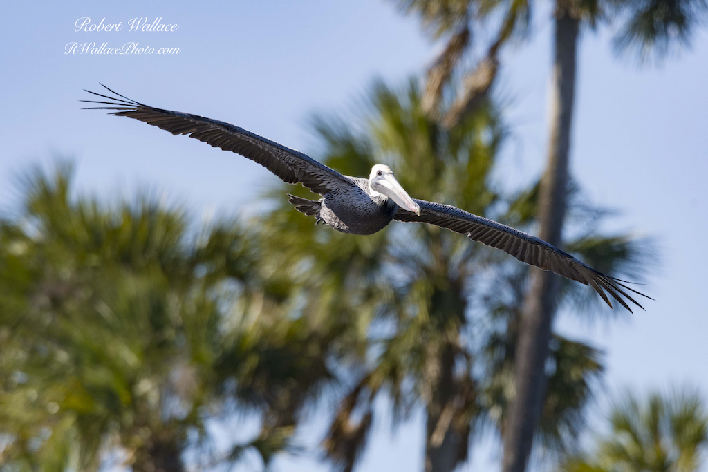 BROWN PELICAN FLOATS ABOVE THE CHASSAHOWITZKA RIVER, FLORIDA SURVEYING THE LUNCH OFFERINGS. IMAGE: ROBERT WALLACE