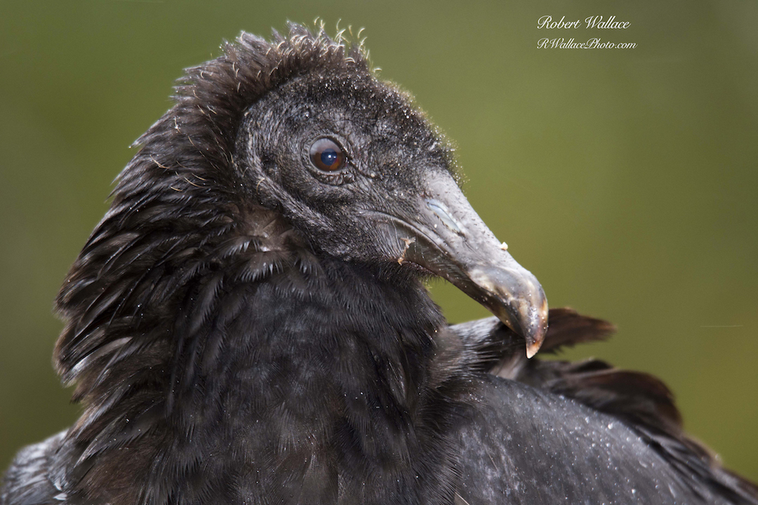 CLOSE UP OF A BLACK VULTURE IN THE RAIN AT CRYSTAL RIVER NATIONAL WILDLIFE REFUGE. CHECK OUT MY WILDLIFE PHOTOGRAPHY NOTES BELOW. IMAGE: ROBERT WALLACE