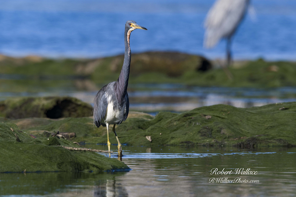 THE BEST VEIWS OF WADING AND SHORE BIRDS, LIKE THIS TRI-COLORED HERON, ARE FROM A KAYAK OR CANOE DRIFTING QUIETLY DOWN THE RIVER. IMAGE: ROBERT WALLACE