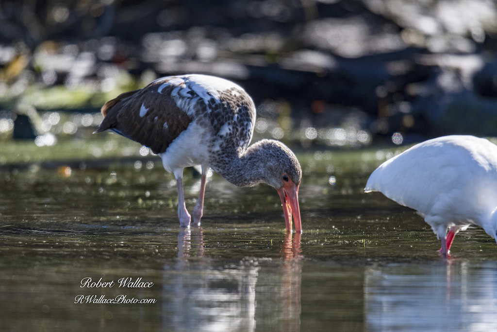 A JUVENILE WHITE IBIS FEELS FOR CRAYFISH, WORMS OR CRABS IN THE SOFT MUDDY BOTTOM OF THE CHASSAHOWITZKA RIVER ON FLORIDA'S NATURE COAST. IMAGE: ROBERT WALLACE