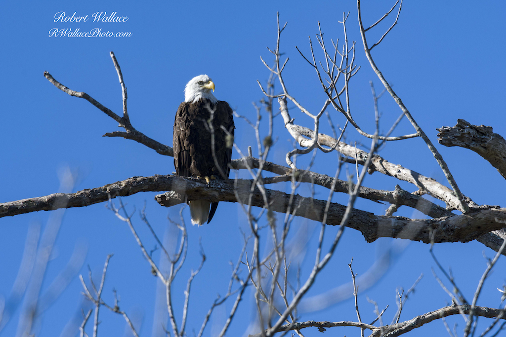 IN 2015 THE CHASSAHOWITZKA NATIONAL WILDLIFE REFUGE WAS LISTED AS A  GREAT PLACE TO SEE BALD EAGLES  FROM OCTOBER THROUGH APRIL. LOOK UP! THEY LIKE THE TALLEST BRANCH ALONG THE RIVER. IMAGE: ROBERT WALLACE
