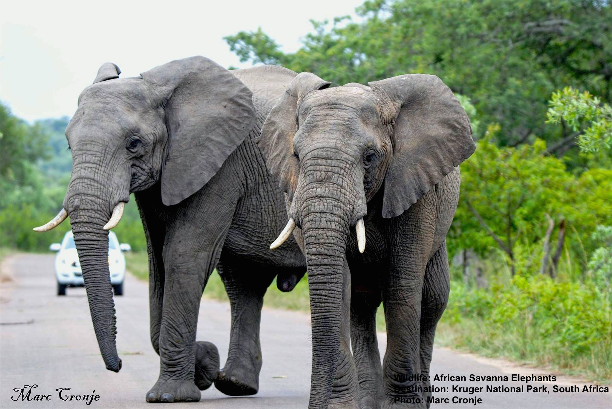 ELEPHANTS ARE THE MANATEE'S CLOSEST RELATIVE. IMAGE: MARC CRONJE