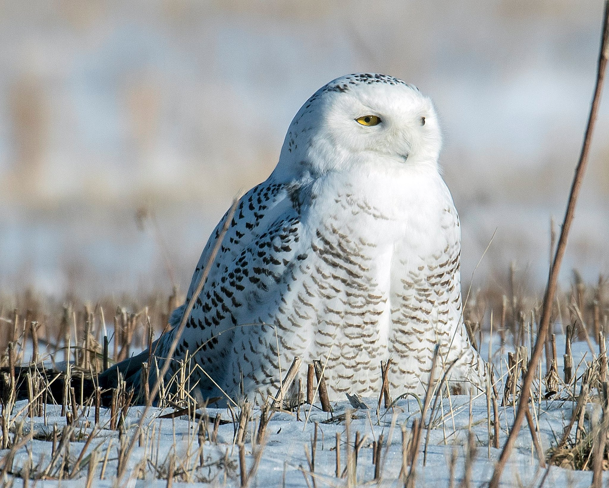 EVERY YEAR SNOWY OWLS DIE FROM TOO MUCH LOVE. THE FRIENDS OF THE WASHINGTON COUNTY GRASSLANDS, FORT EDWARD, NEW YORK SENt THIS WARNING. IMAGE: K. ROHLING THANKS TO THE FRIENDS OF THE WASHINGTON COUNTY GRASSLANDS