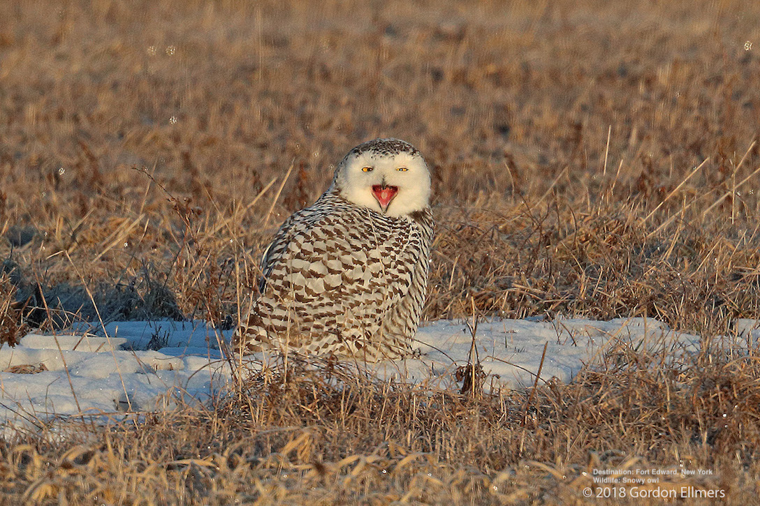 SNOWY OWLS REST ON THE GROUND. YOUR CAR CREATES A PERFECT BLIND TO WATCH THEM WITHOUT STRESSING THE OWLS. IMAGE: GORDON ELLMERS