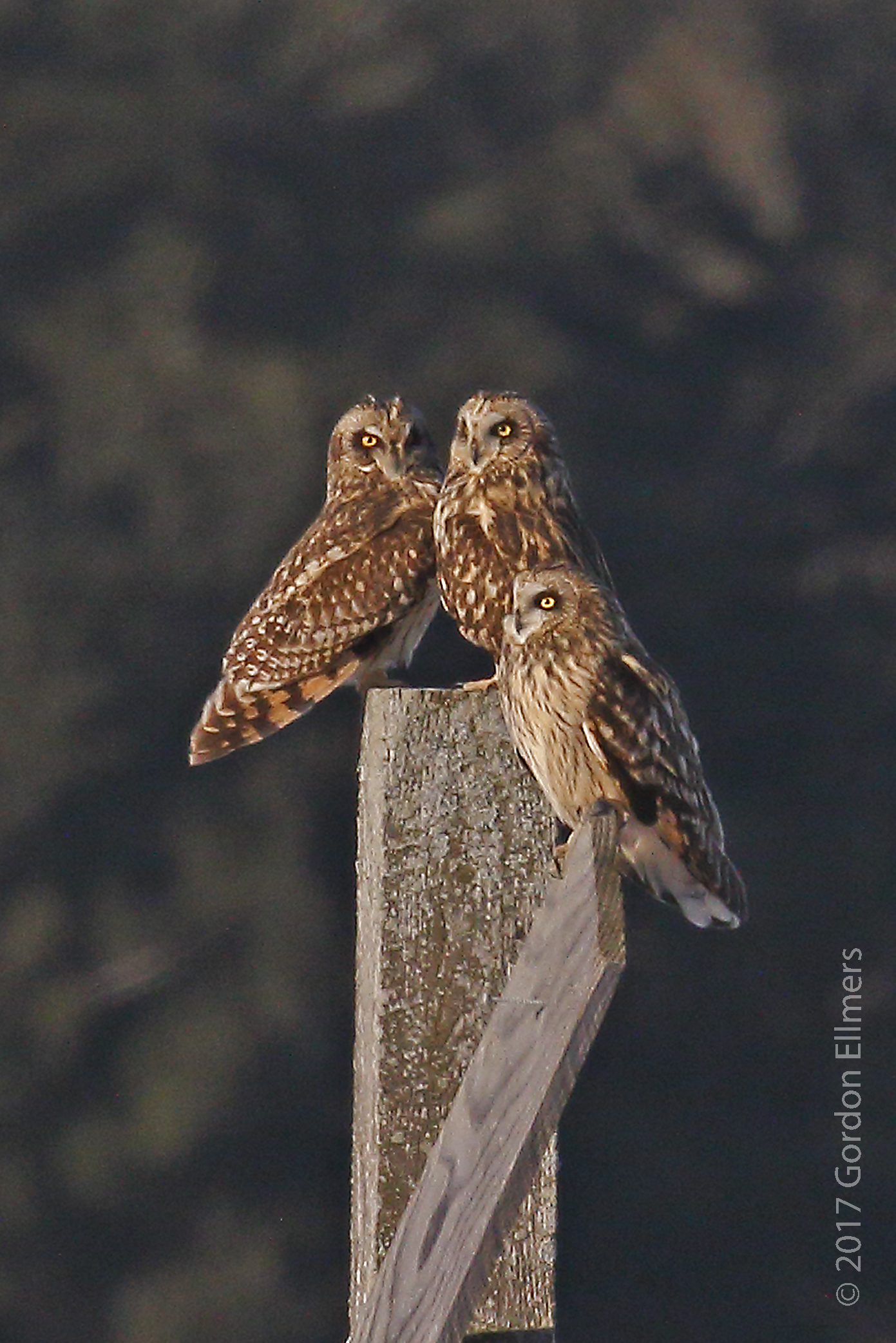 ENDANGERED SHORT-EARED OWLS BREED IN THE ARCTIC BUT WINTER HERE IN NEW YORK. IMAGE: ©GORDON ELLMERS