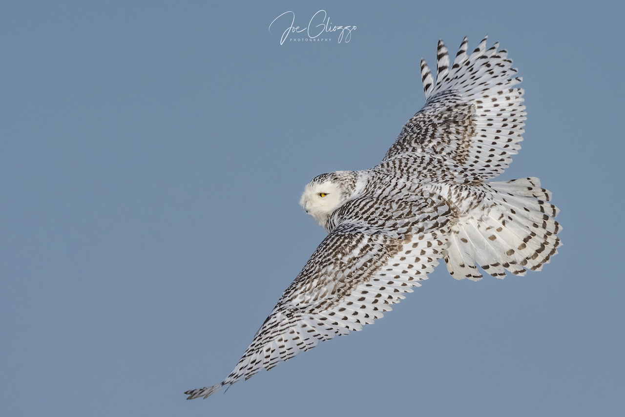 ADULT FEMALE SNOWY OWLS ARE MORE HEAVILY BARRED THAN ADULT MALES THAT CAN BE ALMOST PURE WHITE. IMAGE: JOE GLIOZZO