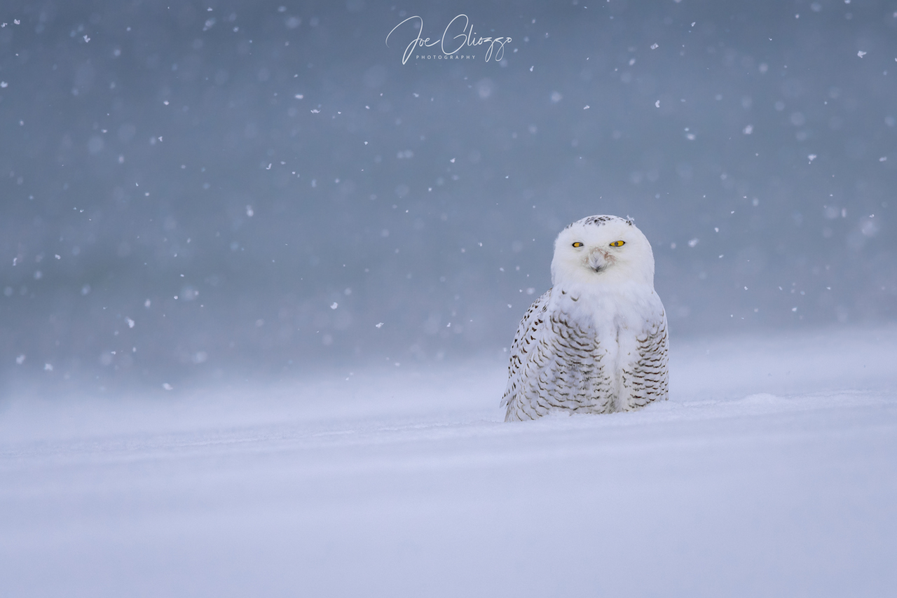 "AT LEAST ONE BANDED SNOWY DIED IN THIS AREA DURING JANUARY 2018 BLIZZARDS. SNOWY OWLS NEED ALL THEIR ENERGY TO SURVIVE THE COLD. ""FLUSHING"" CAN EXHAUST THEM AND SPELL THE END. IMAGE: JOE GLIOZZO"