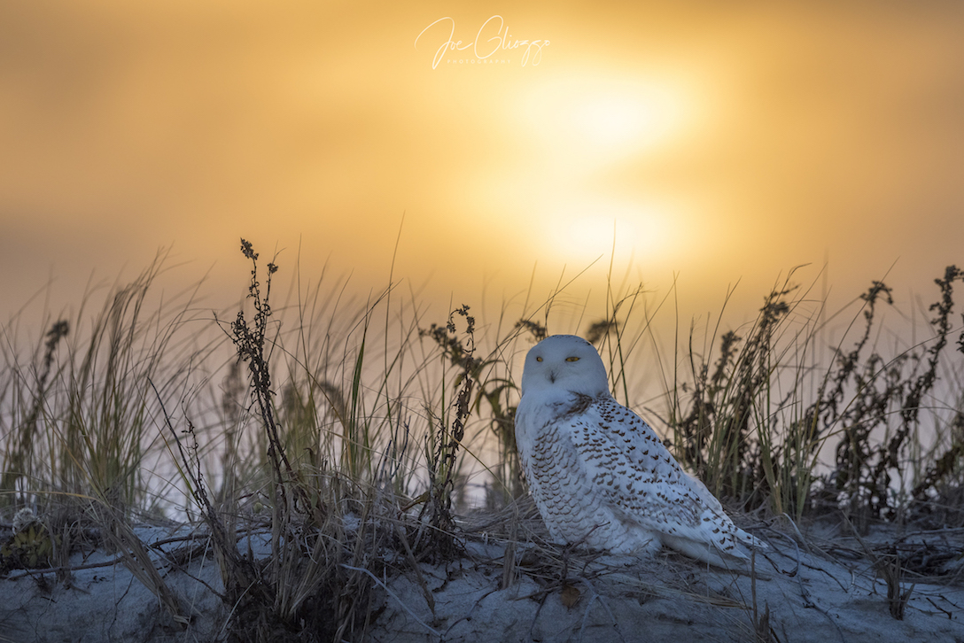"SUNSET AT THE NEW JERSEY SHORE FINDS A SNOWY OWL AT REST IN THE DUNES. THERE IS NO ""PERFECT"" DISTANCE. THIS BIRD'S EYES TELL US THAT IT IS RELAXED. IMAGE: ©JOE GLIOZZO"