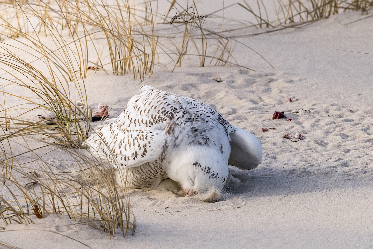 SNOWY OWLS RUB THEIR BEAKS IN THE SNOW OR SAND TO CLEAN THEMSELVES SIGNALING THAT THEY ARE FINISHED WITH THEIR MEAL. IMAGE: JOE GLIOZZO