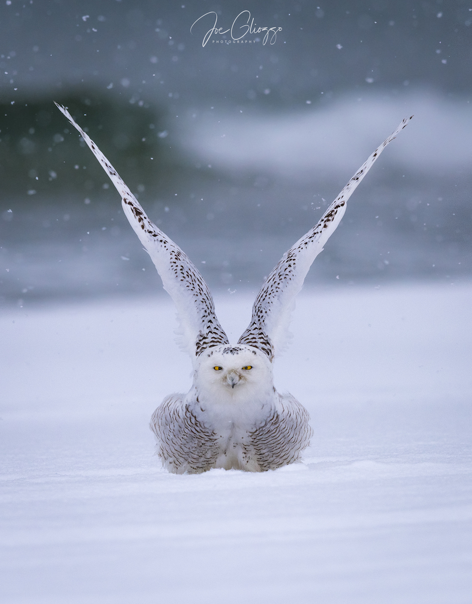 PHOTOGRAPHING A BIRD WITH WHITE FEATHERS, LIKE A SNOWY OWL, REQUIRES CLOSE ATTENTION TO YOUR HISTOGRAM. IMAGE: JOE GLIOZZO