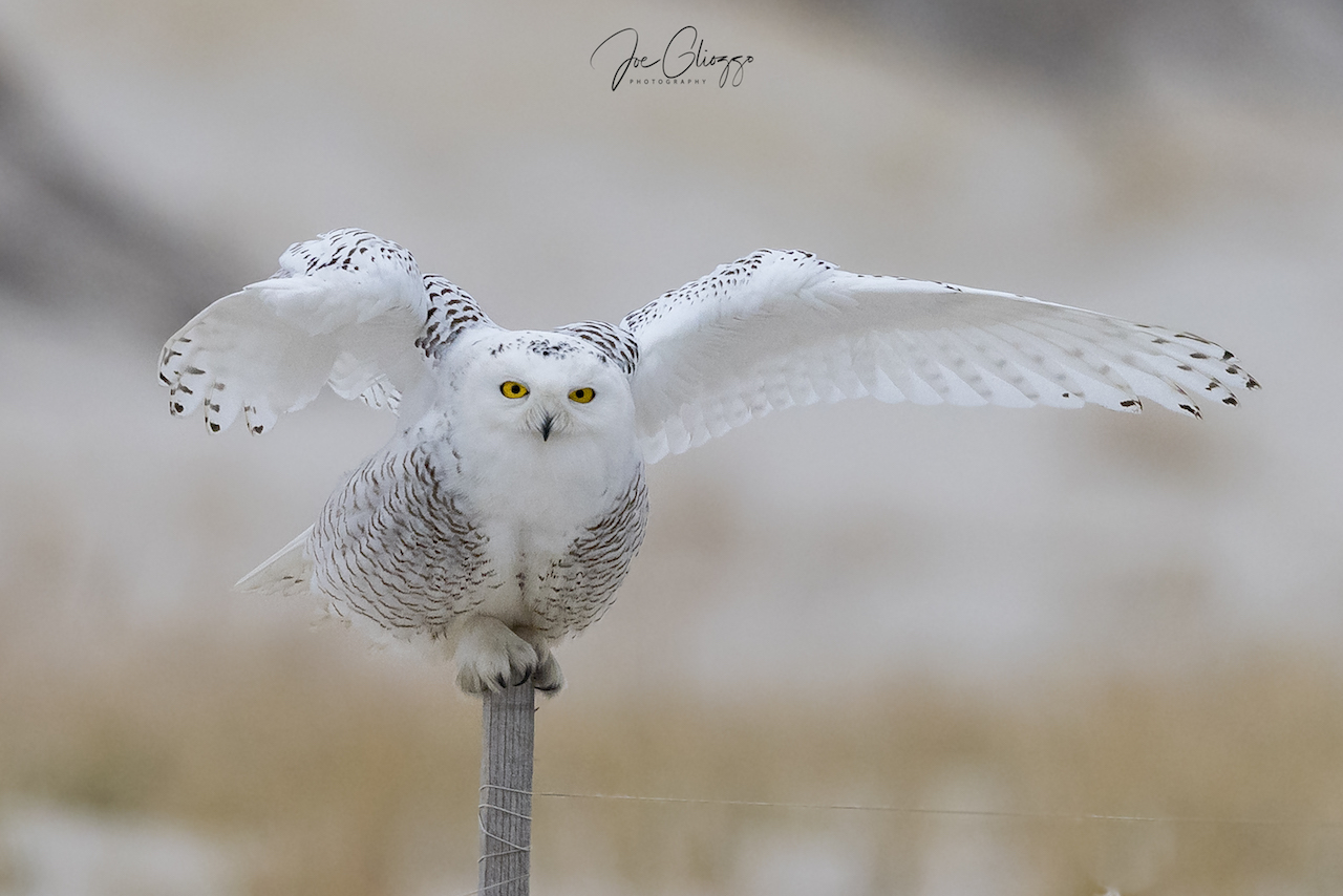 A SNOWY OWL CAN SIT FOR HOURS WITHOUT MOVING, RESTING AND PRESERVING ENERGY - THEn IN A SECOND IT IS GONE. IMAGE: JOE GLIOZZO