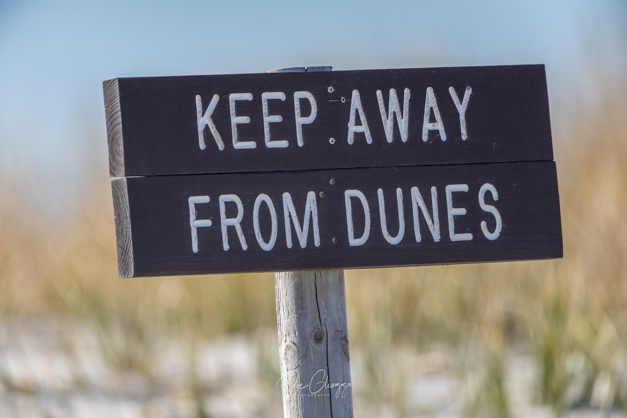 WHEN YOU PROTECT THE DUNES, YOU PROTECT THE WILDLIFE - INCLUDING SNOWY OWLS. IMAGE: ©JOE GLIOZZO