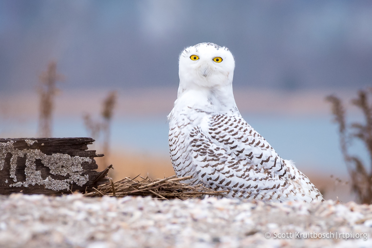 IN LOVE WITH SNOWY OWLS? WE ARE TOO, BUT KEEP THEM SAFE WITH THE GUIDELINES FROM THE ROGER TORY PETERSON INSTITUTE. IMAGE: SCOTT KRUITBOSCH THANKS TO  THE RTPI .