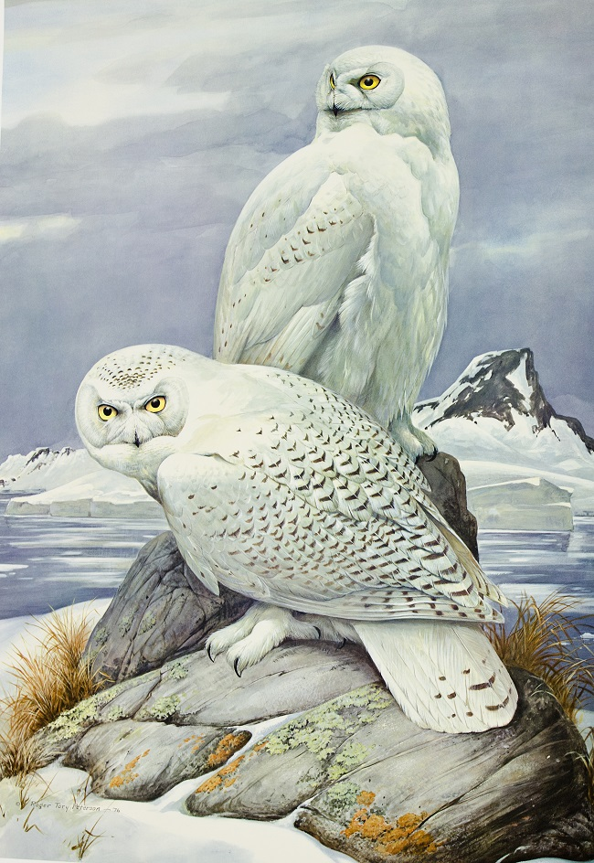 SNOWY OWLS, ONE OF ROGER TORY PETERSON'S FAVORITE SPECIES TO PAINT IS THE EMBLEM OF THE ROGER TORY PETERSON INSTITUTE OF NATURAL HISTORY. IMAGE: THANKS TO  THE RTPI.