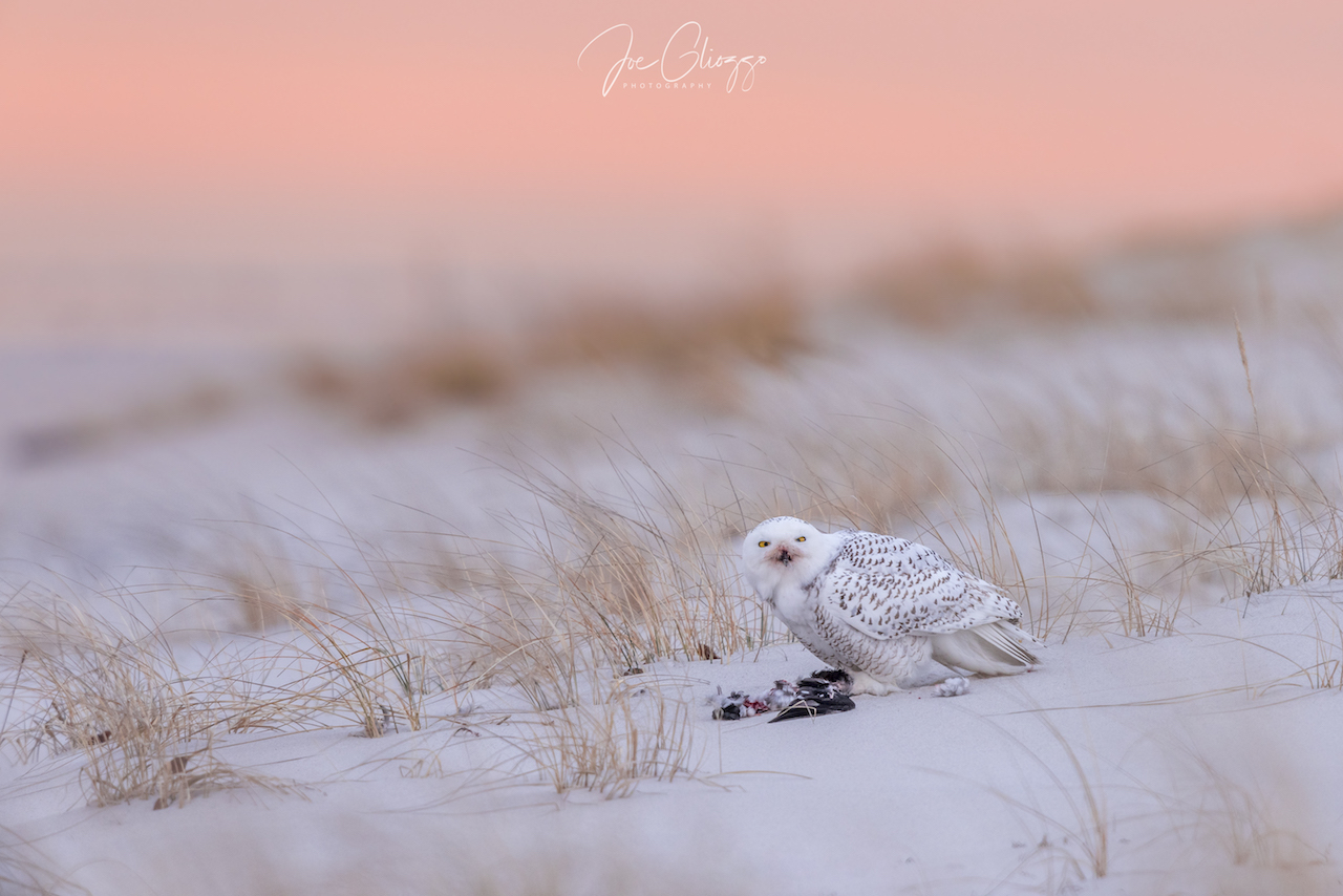 ARRIVING AT SUNRISE, PATIENCE, AND BEING VERY, VERY RESPECTFUL OF THE BIRDS COMFORT ZONE RESULTED IN THIS AMAZING SNOWY OWL PHOTO. IMAGE: JOE GLIOZZO