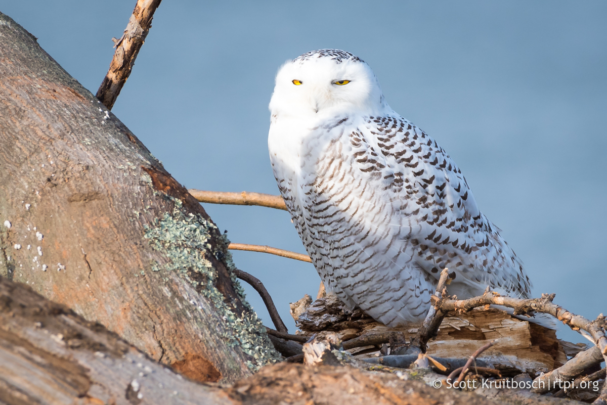 RELAXED SNOWY OWL (LOOK AT ITS EYES) AT  STRATFORT POINT, CONNECTICUT.  VISITORS ARE WELCOME WHEN THE GATE IS OPEN. IMAGE: SCOTT KRUITBOSCH THANKS TO  THE RTPI