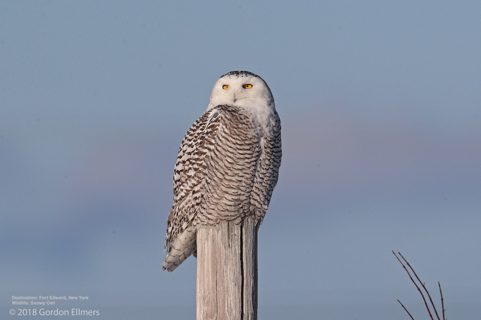 THE AMOUNT OF PREY AT THEIR ARCTIC NESTING GROUNDS, WEATHER, AND LOCAL CLIMATE CONDITIONS ALL FACTOR IN THE NUMBER AND RANGE OF SNOWY OWLS MIGRATING SOUTH FOR THE WINTER. IMAGE: ©GORDON ELLMERS