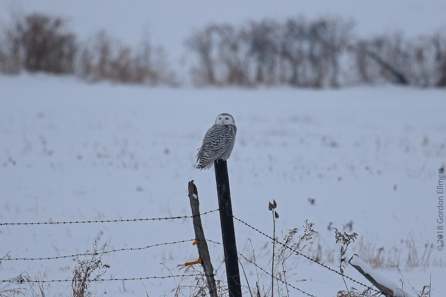 SNOWY OWL AT SUNSET. HELP TO KEEP THEM SAFE, HEALTHY, AND COMING BACK TO WINTER IN THE US NORTHEAST. FOLLOW THE GUIDELINES FROM SCOTT KRUITBOSCH AND THE ROGER TORY PETERSON INSTITUTE. IMAGE: ©GORDON ELLMERS