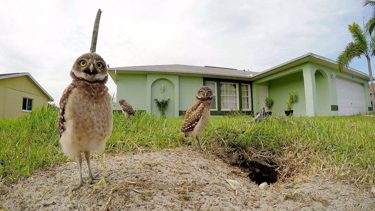 BURROWING OWLS DANCE AND SO MIGHT YOU WHEN YOU SEE THIS FILM. IT IS ONE OF THE FEATURES OF FAMILY DAY AT THE NEW YORK WILD FILM FESTIVAL. IMAGE: THANKS TO NEW YORK WILD FILM FESTIVAL