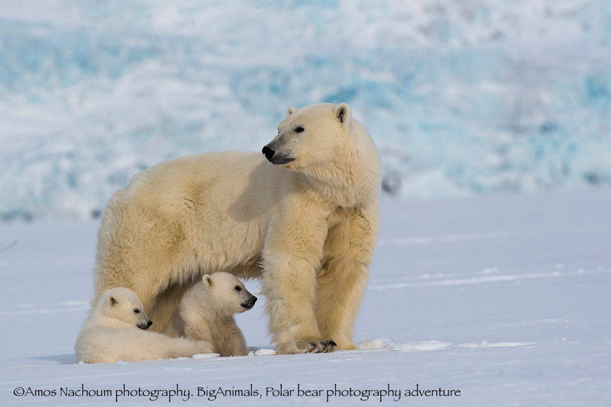 AFTER ALMOST BEING KILLED ONCE, AMOS NACHOUM SPENT THE NEXT TEN YEARS STUDYING POLAR BEAR BEHAVIOR IN PREPARATION FOR HIS SECOND DIVE INTO ARCTIC WATERS TO PHOTOGRAPH THEM. IMAGE: COURTESY OF WILDLIFE PHOTOGRAPHER ©AMOS NACHOUM PHOTOGRAPHY AND BIGANIMALS Global Expeditions.