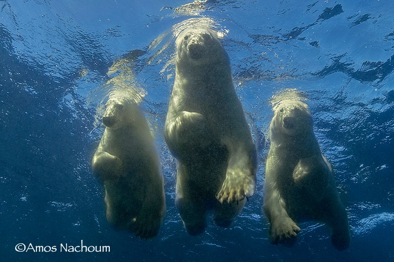 """POLAR BEAR FAMILY LOOKING AT AMOS NACHOUM AS HE PHOTOGRAPHS THEM FROM BELOW IN OPEN OCEAN. """"MY WHOLE LIFE IS ABOUT DISPELLING MYTHS AROUND """"DANGEROUS WILDLIFE"""", HOW COULD I GIVE UP ON THIS CREATURE? ALL I HAD TO DO WAS STUDY POLAR BEAR BEHAVIOR AND FIND A BETTER TEAM ... IMAGE: COURTESY OF ©AMOS NACHOUM PHOTOGRAPHY"""