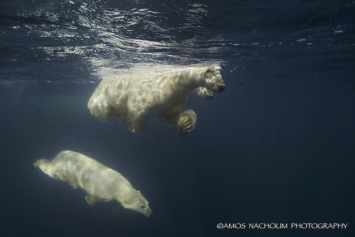 ONE CURIOUS POLAR BEAR CUB DIVED DOWN TO GET A BETTER LOOK AT US, THEN WENT BACK TO ITS FAMILY. IMAGE: COURTESY OF ©AMOS NACHOUM