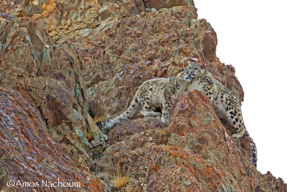 LADAKH, INDIA. ALL THE OTHERS WENT BACK TO CAMP, BUT AMOS STAYED FOR HOURS IN THE COLD, ALONE. HE KNEW THE SNOW LEOPARDS WOULD SHOW THEMSELVES IN THEIR OWN GOOD TIME. IMAGE: ©AMOS NACHOUM PHOTOGRAPHY. BIGANIMALS GLOBAL EXPEDITIONS.