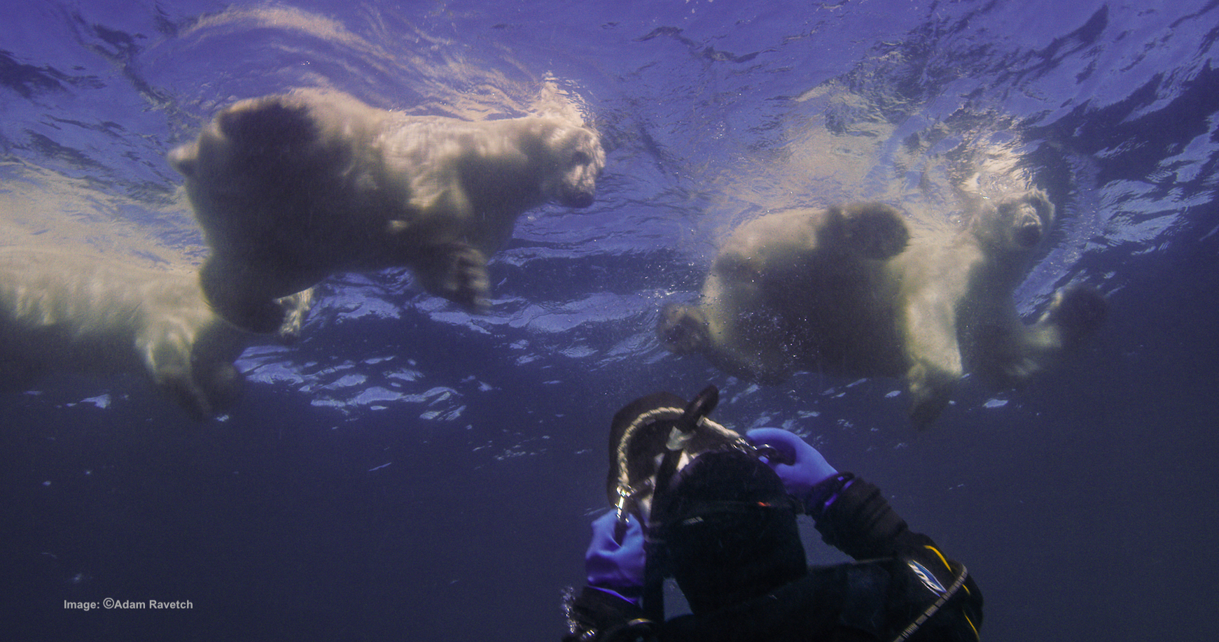 YES, THOSE ARE WILD POLAR BEAR SWIMMING ABOVE THE HEAD OF AMOS NACHOUM AS HE PHOTOGRAPHS THEM IN OPEN WATER OFF THE COAST OF ARCTIC CANADA. FILMMAKER ADAM RAVETCH IS FILMING HIM. IMAGE BY ADAM RAVETCH.