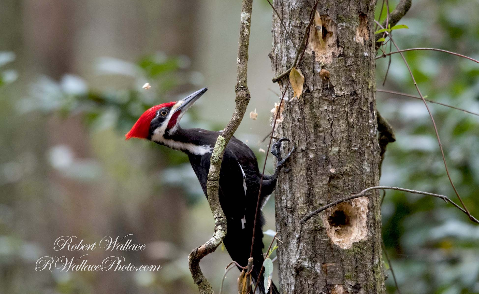 PILEATED WOODPECKER HAS BEEN AN OLD FRIEND EVER SINCE I LEARNED TO LACE MY SHOES. SOMETHING TOLD ME TO GO JUST A LITTLE FURTHER AND I MET UP WITH THIS GUY. IMAGE: ©ROBERT WALLACE, RWALLACE PHOTO.