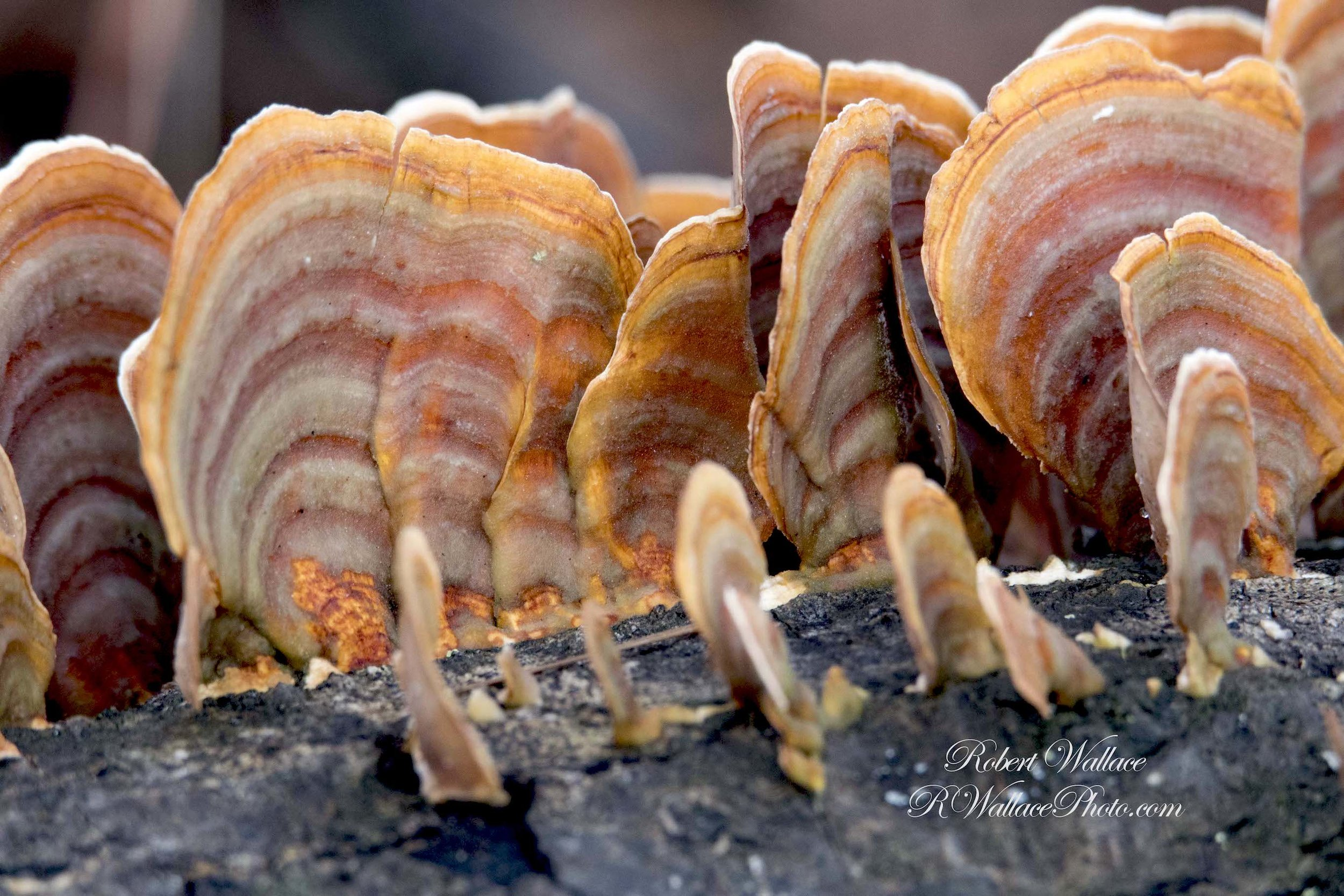COLORFUL FUNGUS (A TURKEY TAIL FUNGUS?) GROWING ON A FALLEN TREE AT RAINBOW SPRINGS STATE PARK. IMAGE: ©ROBERT WALLACE RWALLACE PHOTO.