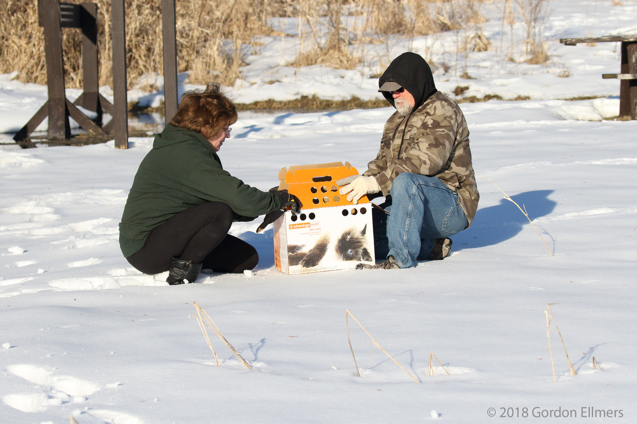 WILDLIFE REHABILITATORS DAVE LARROE AND CATHY LEHMAN, A FORT EDWARD CPUPLE WITH EXTENSIVE EXPERIENCE IN CARING FOR BIRDS OF PREY, GET READY TO RELEASE THE SHORT-EARED OWL. IMAGE: ©GORDON ELLMERS