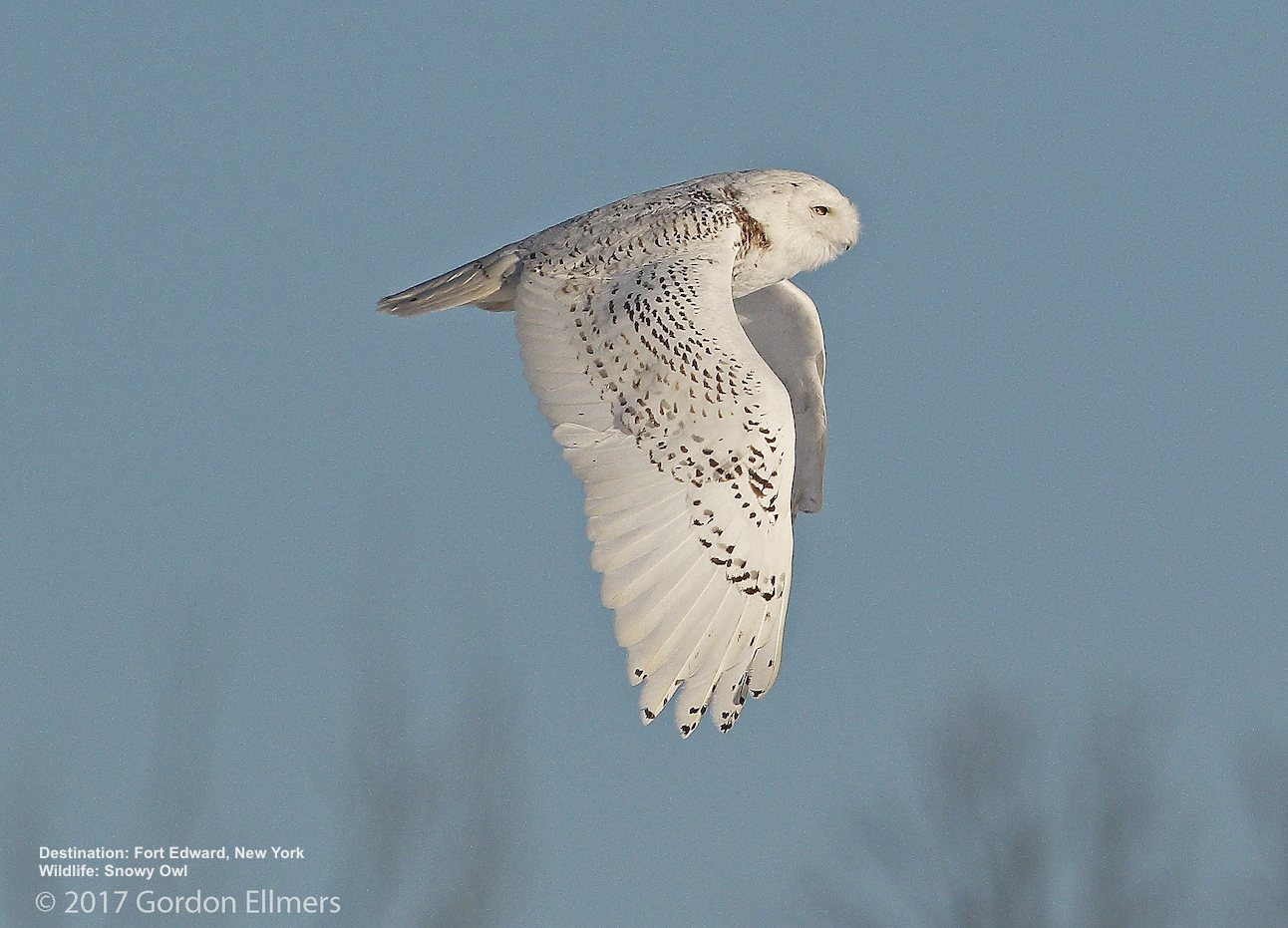 Finding Snowy Owls in New York State (also Short-Eared Owls)