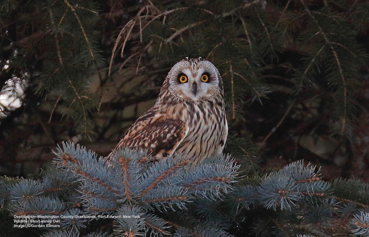 A WINTERING SHORT-EARED OWL IN THE WASHINGTON COUNTY GRASSLANDS, FORT EDWARD, NEW YORK. IMAGE: ©GORDON ELLMERS