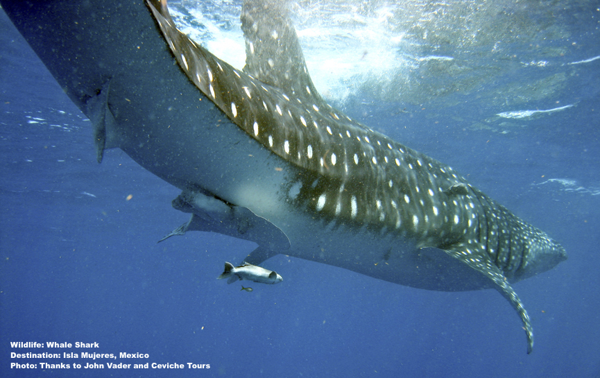 SLOW MOVING, DOCILE WHALE SHARKS WERE ONCE EXTENSIVELY HUNTED FOR THEIR MEAT, OIL, AND FINS IN MANY PARTS OF THE WORLD. TODAY, RESPONSIBLE WHALE SHARK TOURISM IS PROVING TO BRING SUSTAINABLE ECONOMIC BENEFIT TO MANY ONE-TIME FISHING COMMUNITIES. IMAGE: THANKS TO JOHN VATER, CEVICHE TOURS, ISLA MUJERES, MEXICO. Write here…
