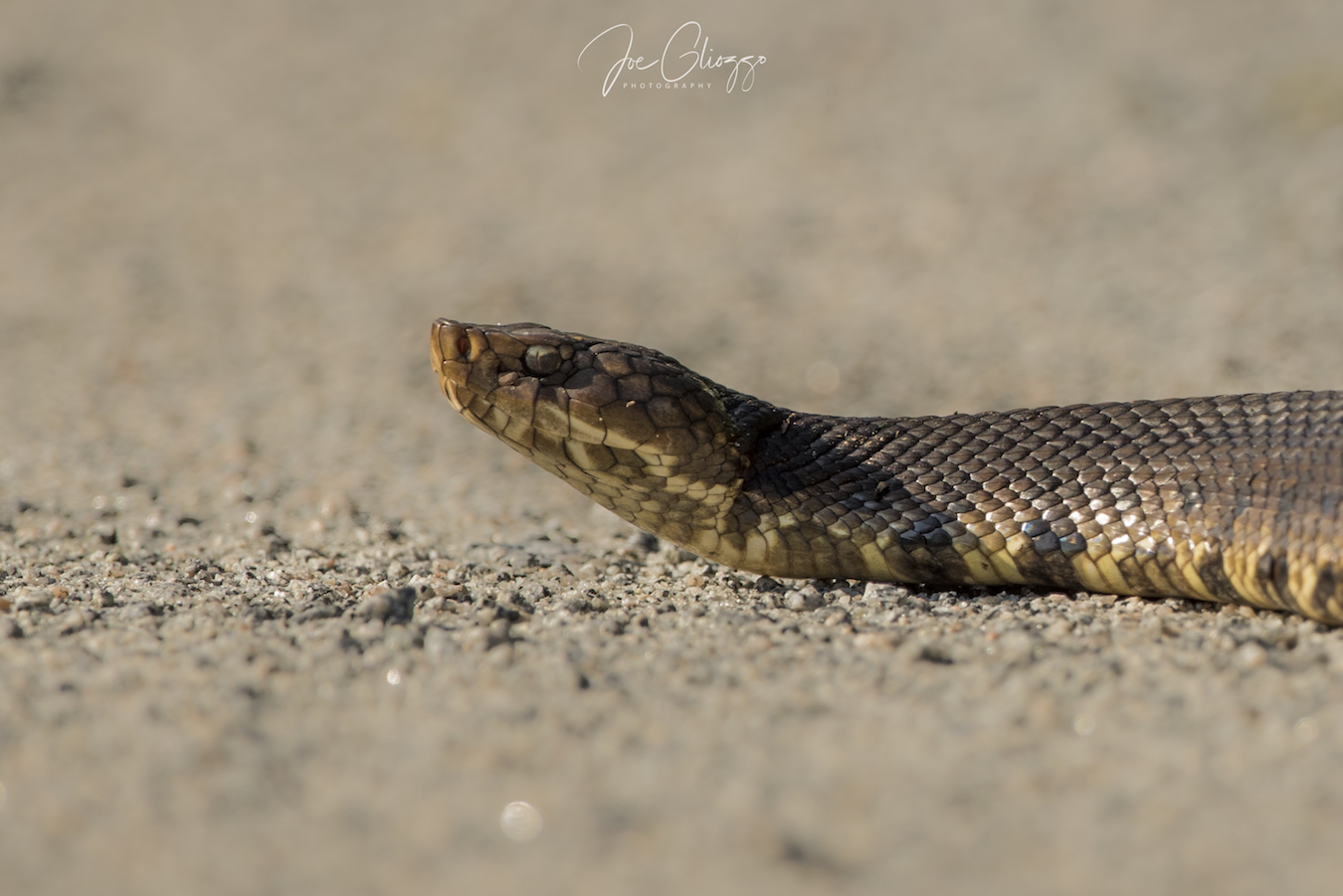 this snake making his way across the road did not show me his mouth but I think it is a cotton mouth snake. image: j©oe gliozzo