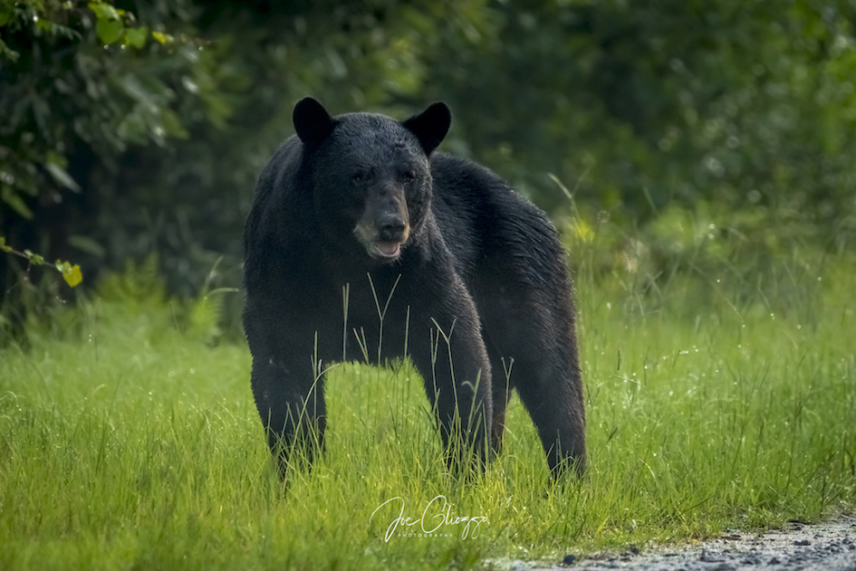 "FINDING AND PHOTOGRAPHING BLACK BEAR WAS HIGH ON MY ""TO-DO"" LIST AT ALLIGATOR NATIONAL WILDLIFE REFUGE. IMAGE: JOE GLIOZZO"