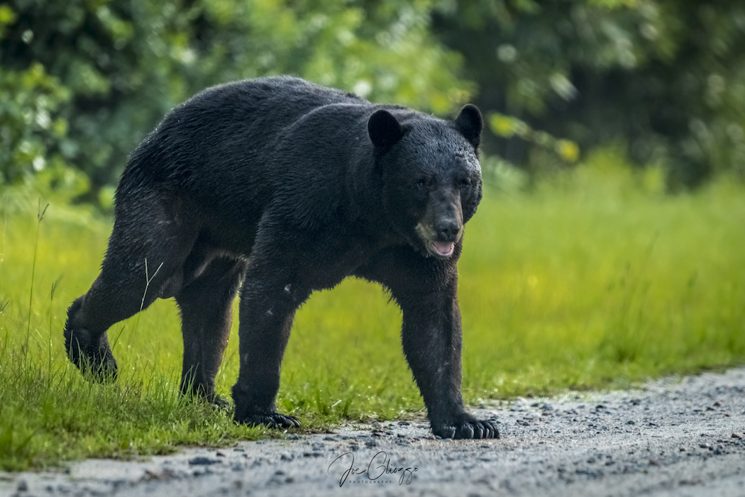THE HUGE BLACK BEAR BEGAN TO WALK TOWARD US - AND THEN CHANGED DIRECTION. IMAGE: JOE GLIOZZO